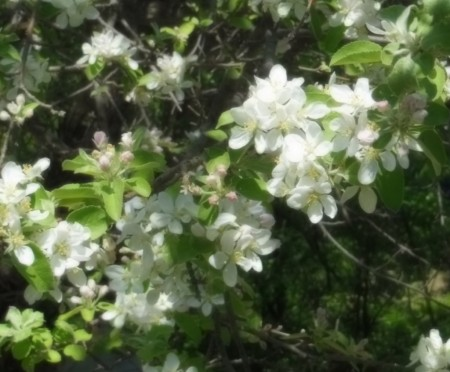 Apple Blossoms May 2014